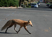 220px-Red_fox_crossing_road.jpg